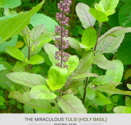 Eat Tulsi, Because Ma Says It… :)
